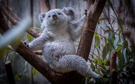 Preview wallpaper Furry koala, tree