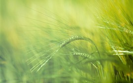 Grass spikelets close-up