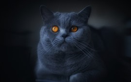 Preview wallpaper Gray cat, orange eyes, darkness
