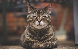 Gato gris durmiendo, vista frontal