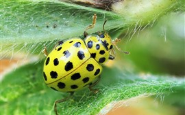 Preview wallpaper Green ladybug, leaves, insect