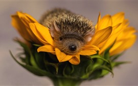 Hedgehog, sunflower, yellow petals