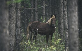 Horse, look, forest