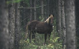 Лошадь, взгляд, лес