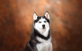 Preview wallpaper Husky dog, look, orange background