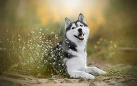 Husky dog, white little flowers