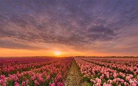 Preview wallpaper Hyacinth, pink flowers, fields, sunset