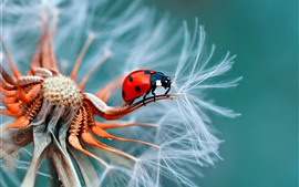 Preview wallpaper Ladybug, dandelion flower
