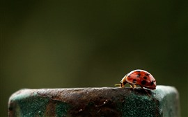 Preview wallpaper Ladybug, rusty iron