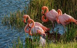 미리보기 배경 화면 호수, 플라밍고, 조류, 야생 동물, 잔디