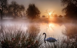Lago, cisne, grama, amanhecer, nevoeiro, manhã