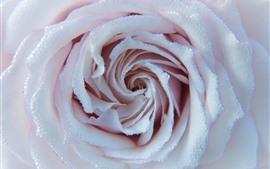 Rose rose clair, nombreuses gouttelettes d'eau