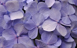 Preview wallpaper Light purple hydrangea, many flowers