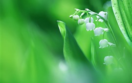 Preview wallpaper Lily of the valley, white flowers, hazy