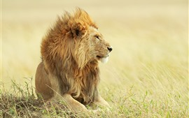 Preview wallpaper Lion, grass, wind