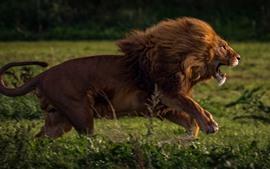 Лев работает, скорость