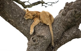 Lioness sleep in tree