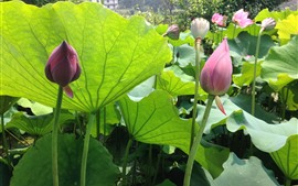 미리보기 배경 화면 로터스 봉오리, 꽃, 여름