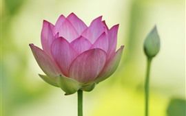 Primer plano de loto, pétalos rosados, fondo verde.