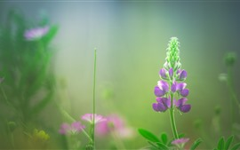 Preview wallpaper Lupin, purple flowers, hazy