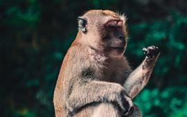 Macaco Macaca