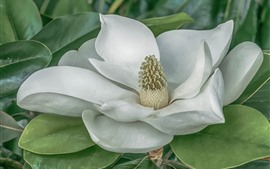 Magnolia, white flower, leaves