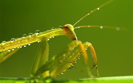 Preview wallpaper Mantis, green, insect, water droplets