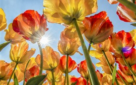Many tulips, flowers field, sky, sun rays