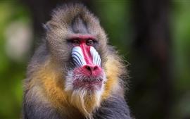 Macaco, vista frontal, mamífero