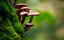 Cogumelos, musgo verde, natureza
