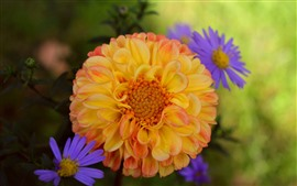 Preview wallpaper Orange dahlia and blue chrysanthemum
