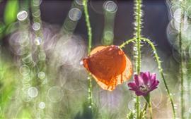 Оранжевый цветок мака, фиолетовый цветок, стебель, макросъемка