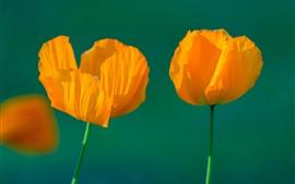 Flores de amapola naranja, tallo