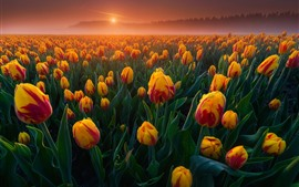 Orange tulips fields, sunrise, fog