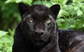 Preview wallpaper Panther, black leopard, face, front view