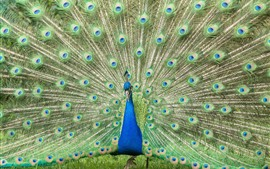 Preview wallpaper Peacock, open tail, beautiful feathers
