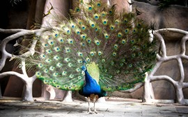 Peacock, tail, green feathers