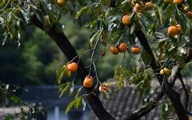 壁紙のプレビュー 柿の木、果物
