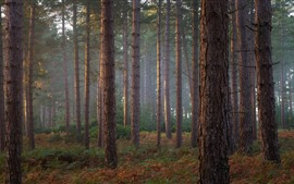 Pinheiros, floresta, nevoeiro