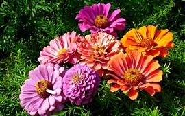 Flores de zínia rosa e laranja