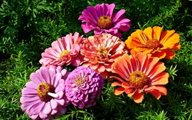 Aperçu fond d'écran Fleurs de zinnia roses et oranges