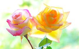 Preview wallpaper Pink and yellow roses, backlight