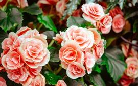 Pink begonia, flowers