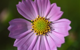 Preview wallpaper Pink cosmos flower macro photography