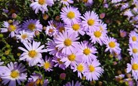 미리보기 배경 화면 핑크 데이지, 많은 꽃, 봄