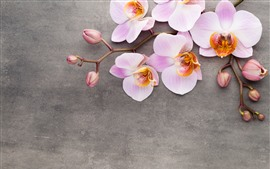 Preview wallpaper Pink phalaenopsis, flowers close-up