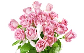 Pink roses, bouquet, white background