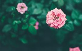 Rosas cor de rosa, flores no jardim, nebulosas