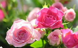 Aperçu fond d'écran Roses roses, lumière du soleil