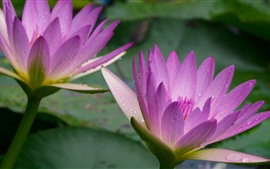 Preview wallpaper Pink water lily, petals, water droplets